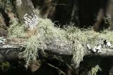 [Spanish Moss on a branch]