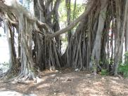 [Banyan Tree]